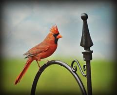 ~Cardinal rules....~ (nushuz) Tags: red bird beautiful cardinal explore blueskyandclouds cardinalrules ontopofthefeeder suchaprettybird lovethemohawkhairdolol