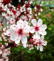 29 March 2015 (debsdods) Tags: plumblossoms