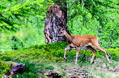 DSC_2762.JPG (@Σεβιβ.) Tags: italy nature italia natura piemonte montagna montain naturephotography capriolo alpedevero caprioara europeanroedeer eusebiubalauca