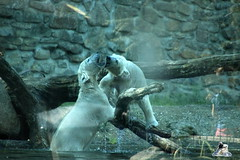 ouwehands dierenpark 30.06.2015  71 (Fruehlingsstern) Tags: zoo freedom polarbear rhenen eisbr ouwehandsdierenpark huggies canoneos600 tamron16300