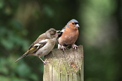 IMGP3030 pair of Chaffinch, Paxton Pits, August 2015 (bobchappell55) Tags: bird nature pits wildlife pair reserve cambridgeshire paxton chaffinch