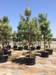45g Loblolly Pine 8/6/15