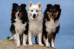 3 ladies (The Papa'razzi of dogs) Tags: animal outdoor dog hund nature hurupthy northdenmarkregion denmark dk