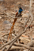 Asian Paradise Flycatcher S320 f/5.6 I200 200mm (mahesh.kondwilkar) Tags: 2009 asianparadiseflycatcher rajasthan ranthambhore terpsiphoneparadisi