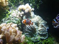 Orange clownfish (skumroffe) Tags: orangeclownfish clownfisk clownfish fisk akvariefisk akvarium aquarium fjärilshuset fjärilshusethaga haga solna stockholm sweden
