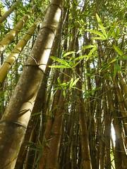 Kuba - Jardin Botanico Soledad de Cienfuegos (muckypuppy) Tags: cuba natur nature bambus bamboo