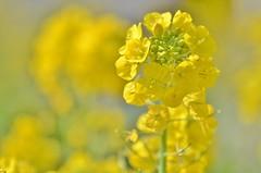 spring yellow (snowshoe hare*) Tags: 菜の花 海の中道海浜公園 canolaflowers botanicalgarden flower flowers dsc0963 yellow
