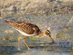 Tringa glareola (vvpopov) Tags: tringaglareola bird swamp birdwatching birding birdlife biology animalportrait animalplanet