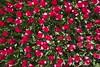 _DSC0786 (Riccardo Q.) Tags: parcosegurtàtulipani places parco altreparolechiave fiori tulipani segurtà