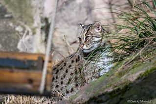 Fischkatze / Fishing cat