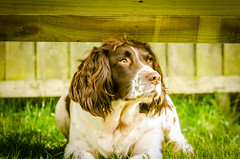 DA1_0711 (Darren Kirby) Tags: springer dog spaniel liver white portrait beautiful colours sigma lens nikon d7000 nature animal
