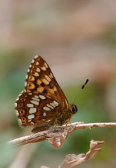Duke of Burgundy, Bentley Wood, Wiltshire (nick edge) Tags: butterfly bokeh wildlife butterflies wiltshire dukeofburgundy bentleywood