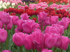 Lots of colors, Holland (Ciska van Geer) Tags: netherlands tulips noordoostpolder tulpen tulpenvelden tulpenroute