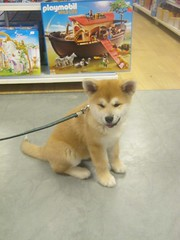 akita puppy in the toy shop (Samurai-Akita) Tags: dog 3 cute japan puppy japanese sweet ken adorable hund month akita inu welpe ss monate