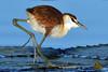 Long Toes --  Revisited  (Explore 31 May 2013) (Duncan Blackburn) Tags: nature nikon african wildlife ngc botswana chobe kasane jacana coth supershot avianexcellence dragondaggeraward coth5 sunrays5 vigilantphotographersunite vpu2 vpu3 vpu4 vpu5 vpu6