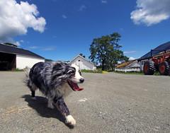 It was hot at the farm. (professional recreationalist) Tags: sky dog dallas community shepherd farm coat australian bluesky brucedean professionalrecreationalist aussie merle victoriabc therapeutic sannich woodwynn