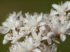 Garden-Macro Porthleven-013 (smj41) Tags: flowers macro cornwall tubes olympus extension pentacon e600 porthleven e620