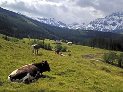 cows (Anke L) Tags: snow mountains alps animals austria day cows cloudy hiking alpen rauris 2013 raurisertal bucheben