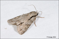 Psi-uil - Acronicta psi R40_2377 (fotoopa) Tags: macro inflight objects insects thuis highspeed ringflash flyinginsects acronictapsi highspeedflash insectsinflight strobic amphipyrapyramidea highspeedcapture highspeedmacro nikond300 fotoopa psiuil inflightinsects piramidevlinder lasercontrol vliegendeinsecten externalshutter lasercamera ttlflashcontrol flyinghighspeedinsects highspeedlaserdetector irlaserdetection hardwareforinflightinsects diyinflightcapture diyflashsetup highspeedhardware multiplelaserdetection d300lasersystem d300highspeed insectenfotografie vliegendebeestjes fotosvliegendeinsecten picturesinflightinsects