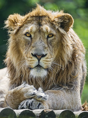 Serious young male Asiatic lion looking at me