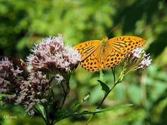 Silver-washed Fritillary (einervonneruhr) Tags: macro nature butterfly bayern natur olympus makro omd schmetterling kaisermantel chiemgau 1250mm em5 silberstrich mzuiko