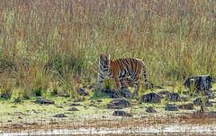 _MG_0153-Edit-Edit (Lathers) Tags: india canon tiger maharashtra pantheratigris ef300f4lisusm 21feb2013 tadobanp