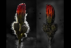 back light / front light (marianna-a.) Tags: autumn light red flower colour macro fall wet water back diptych drop front selective mariannaarmata