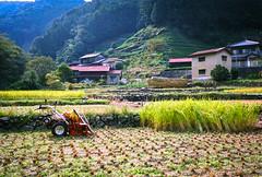 Rice Harvesting (Tonx-) Tags: green film japan rice harvest f3 shizuoka ektar