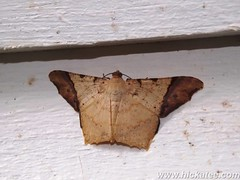 Geometer moth - Family Geometridae (Hickatee) Tags: forest insect rainforest belize wildlife moth culture lepidoptera toledo jungle geometridae puntagorda geometermoth nightflying hickatee hickateecottages hickateebelize hickateepuntagorda