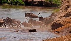 SL10_MSN1005a (Swaminathan.M) Tags: africa nature tanzania wildlife migration rivercrossing wildebeest