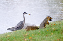 Great Blue Heron and squirrel (Bill VanderMolen) Tags: heron squirrel greatblueheron tamron70300mm tamron70300mmf456 photobomb tamronsp70300mmf456divcusd
