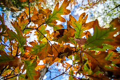 Fall (BradTombers) Tags: autumn orange fall leaves minnesota yellow hiking trails falls mn taylors