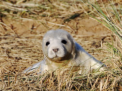 Grey Seal (Paul A West (www.pwest.me)) Tags: seal pup donnanook
