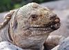 Iguana with a Dirty Face, Santa Fe Island (Explore #5 11/17/13) (Susan Roehl) Tags: closeup ngc npc april species endemic dirtyface ratherlarge specanimal santafeiguana galapagos2013 canbesixfeetlong