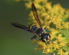 Female Weevil Wasp (milesizz) Tags: wisconsin milwaukee wi hymenoptera apoidea cerceris crabronidae philanthinae apoidwasps cercerini