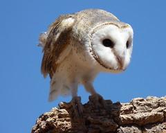 Barn Owl - Tyto alba (Jenny Thynne) Tags: bird barnowl northernterritory alicesprings tytoalba centralaustralia desertpark