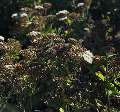 Winter's Shades (harefoot1066) Tags: stinkweed camphorweed sweetscent plucheaodorata saltmarshfleabane shrubbycamphorweed purplemarshcamphor