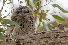 Tawny Frogmouth 2014-01-20 (_MG_3237_) (ajhaysom) Tags: australia melbourne australianbirds tawnyfrogmouth podargusstrigoides greenvale woodlandshistoricpark