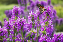 Monarch Butterfly (Jenny Onsager) Tags: flowers summer color canon butterflies monarch purpleflowers monarchbutterfly purplepetals mygearandme mygearandmepremium mygearandmebronze mygearandmesilver mygearandmegold mygearandmeplatinum mygearandmediamond jennyonsager