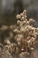 Golden light (Sebastian Rode) Tags: winter light plants sun snow flower macro nature germany photography golden photo nikon europe close image photos picture