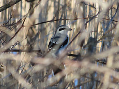 Northern Shrike (John Heinz NWR) (stinkenroboter) Tags: bird northernshrike laniusexcubitor johnheinznationalwildliferefuge