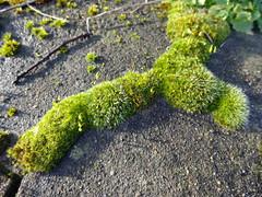 Mousse a Blackheath Royal Standard (Julie70 Joyoflife) Tags: flowers london spring fevrier photostroll photojuliekertesz midfebruary springwalksinlondon springflowersinfebruary