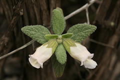 Pitcher Sage (philipbouchard) Tags: california white flower shrub wildflower endemic sanmateocounty lamiaceae countypark sanpedrovalley pitchersage lepechiniacalycina woodbalm