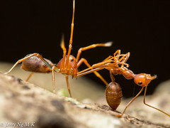 Lethal disguise (ala9900) Tags: macro canon spider flash 100mm ants prey custom predator 5d3