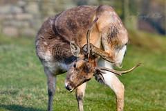 Deer Yoga.! (nondesigner59) Tags: nature animal yoga fauna deer antlers captive eos50d nondesigner nd59 copyrightmmee