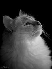Pop (Jchales.co.uk) Tags: light white black cat canon furry natural pussy poppy birman chelmsford canonef100mmf28macro jchalescouk