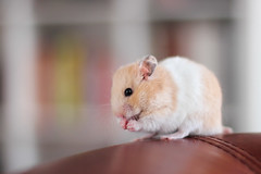 Loðholts Dýri (astakatrin) Tags: pet cute beautiful animal yellow golden furry fluffy tortoiseshell calico hamster rembrandt syrian banded longhaired umbrous loðholts horthaired