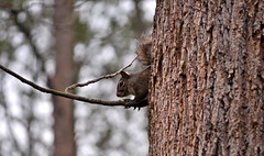 I Am Invisible (BKHagar *Kim*) Tags: tree nature animal climb al squirrel alabama athens riversong bkhagar
