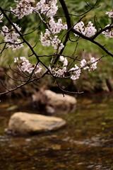 Cherry Blossom at Sagiura (Izumo) (Giopuppy) Tags: pink cute primavera japan cherry japanese spring blossom rosa april  fiori aprile giappone 2014   giapponesi japa  ciliegi     taishacho sagiura d3100   d3100