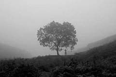 Tree (BL259) Tags: mist tree fog landscape yorkshire moor ogden bronte moorland heathcliff elmet calderdale